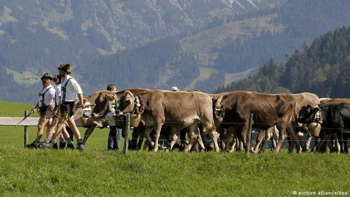 Cow herders wearing lederhosen lead their animals over a mountain field (picture alliance/dpa )