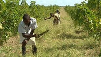 Afrikaner bei Plantagenarbeit