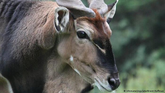 Giant Eland Antilope