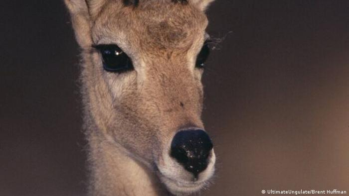 Gray Rhebok antelope