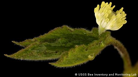 Goldenseal Hydrastis canadensis (USGS Bee Inventory and Monitoring Lab)