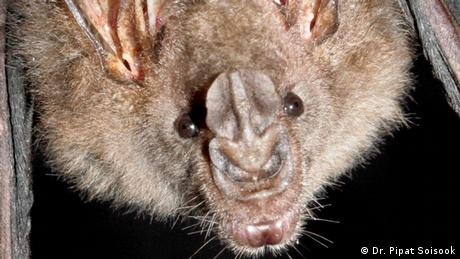 Thongaree's Disc-nosed Bat (Dr. Pipat Soisook)