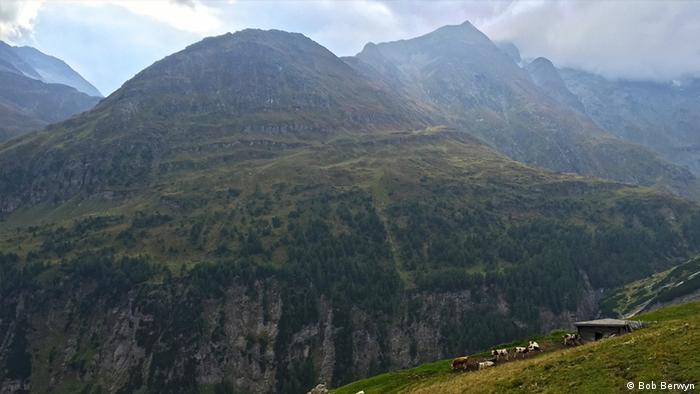 Kühe grasen auf alpinen Wiesen