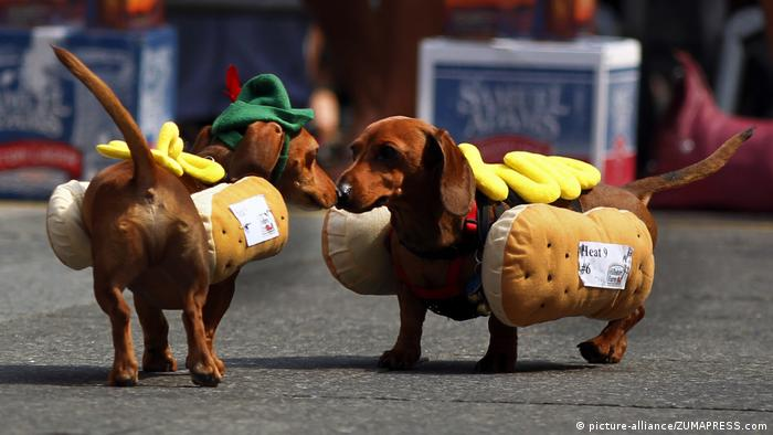 Two dachshund stop and check each other out during the 9th heat of the Running of the Wieners.