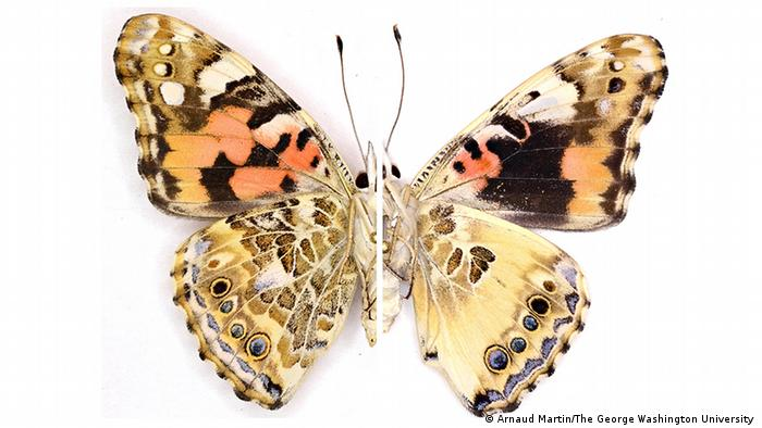 Wing patterns of a normal Painted Lady butterfly (left) compared to a mutant generated with CRISPR (right)