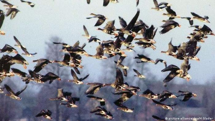 wild geese flying (picture-alliance/dpa/H.Glader )