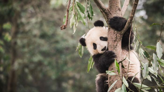 Panda-gigante em floresta de bambu na China