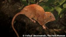 Giant Rat Illustration, This is an illustration of the new species, Uromys vika. Credit: Velizar Simeonovski, The Field Museum