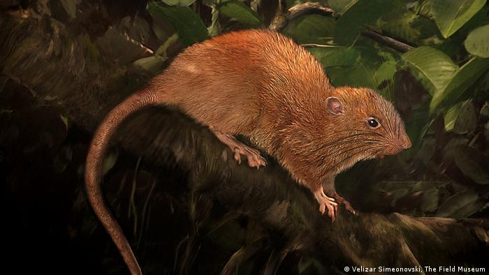 Illustration Riesen-Ratte (Velizar Simeonovski, The Field Museum)