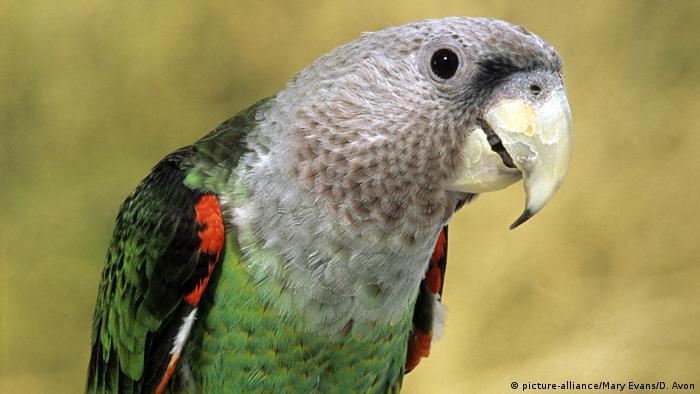 Kappapagei Kap Papagei