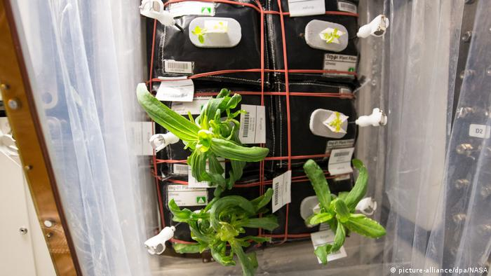 A container of plants of various heights growing on the International Space Station