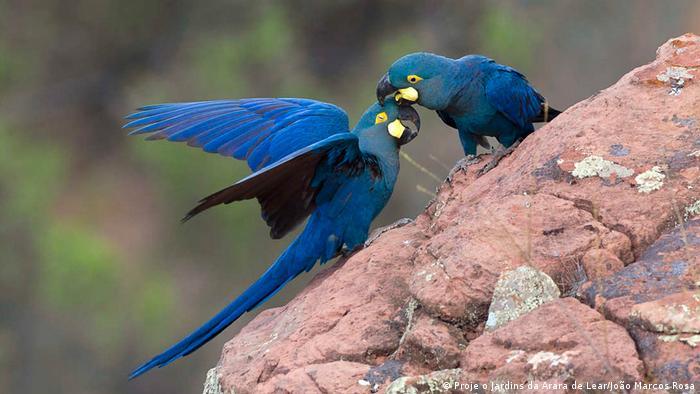 Fabuloso O alemão que desvendou o mistério da arara-azul-de-lear | Notícias  VP52