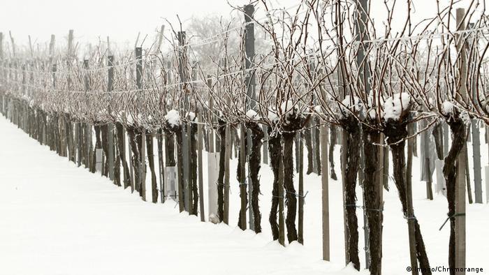 Reihe Weinreben im Winter mit Schnee. (Imago/Chromorange )