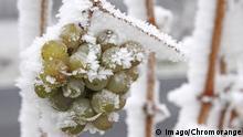 Weintrauben mit Raureif