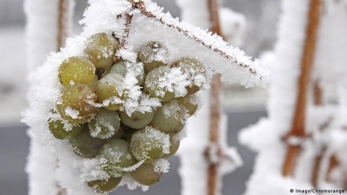 Подмороженный на лозе виноград