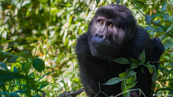A gorillas in Rwanda