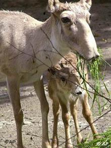 Saiga antilope with calf