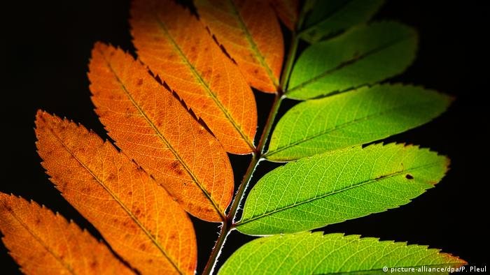 Red and green leaves (picture-alliance/dpa/P. Pleul)