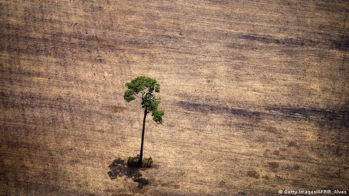 Tree in a deforested area in the middle of the Amazon jungle