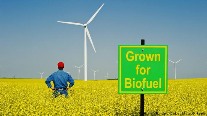 A man looks out over a biofuel sign in a bloom stage canola field with wind turbines in the background