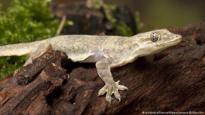 Jungferngecko Lepidodactylus lugubris (picture-alliance/Hippocampus-Bildarchiv)