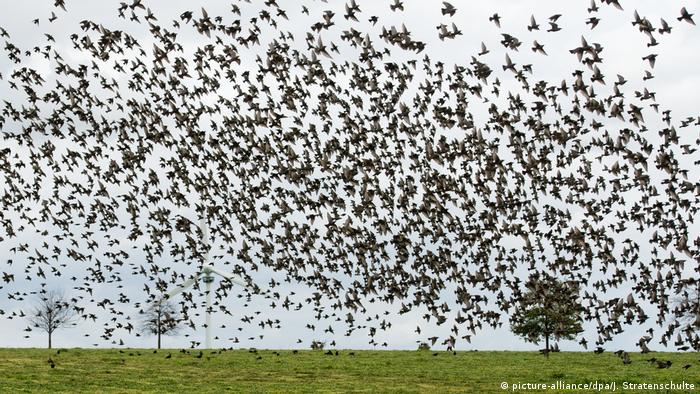 A flock of starlings over a green field (picture-alliance/dpa/J. Stratenschulte)