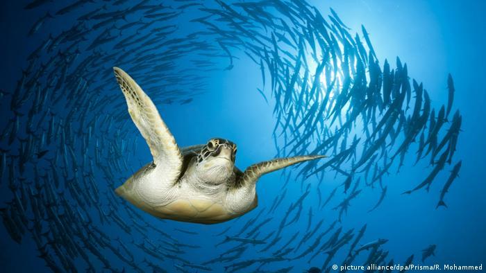 Meeresschildkröte (picture alliance/dpa/Prisma/R. Mohammed)