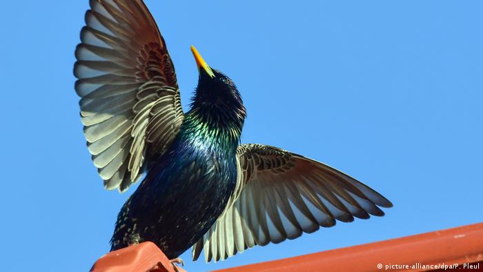 Птица года - скворец