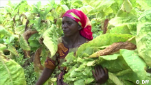 environment, eco@africa, Malawians swap tobacco for sunflowers, GIZ, sunflowers, tobacco, monocultures, agriculture, sustainability, Malawi Bilder aus der DW-Sendung eco@africa