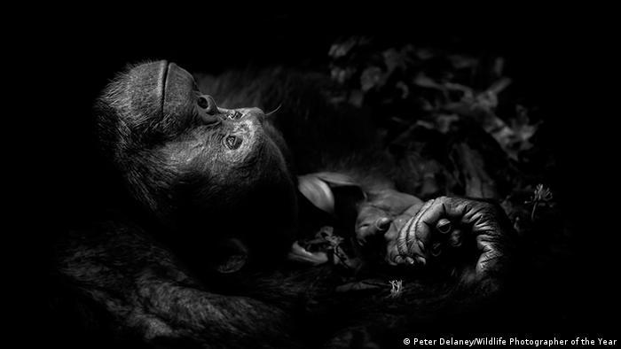 উগান্ডার কিবালে ন্যাশনাল পার্কে মাটিতে শুয়ে এক শিম্পাঞ্জি