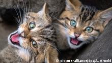 dpatopbilder - Zwei der drei Wildkätzchen, die schon länger im Opel-Zoo leben, fauchen am 16.10.2017 in Kronberg (Hessen) den Fotografen an. Der Landesbetrieb Hessen-Forst hat dem Opel-Zoo eine verwaiste kleine Wildkatze zum aufpäppeln übergeben. Im Frühjahr soll das Tier zusammen mit drei anderen Wildkatzen ausgewildert werden. (zu dpa «Winter-Asyl für bedrohte Wildkatzen - Jungtiere im Opel-Zoo» vom 19.10.2017) Foto: Andreas Arnold/dpa +++(c) dpa - Bildfunk+++   Verwendung weltweit