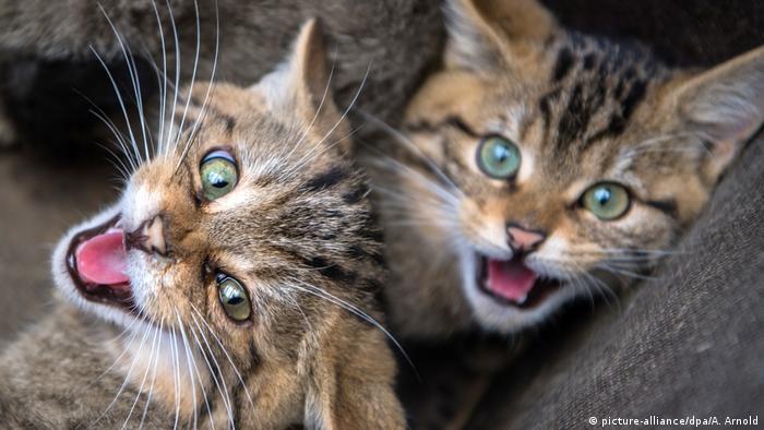 Животное года - лесной кот