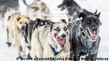 Dogs compete in the Iditarod race in Alaska in 2015, in which no dogs tested positive for drugs (picture alliance/AP/Alaska Dispatch News/L. Holmes)