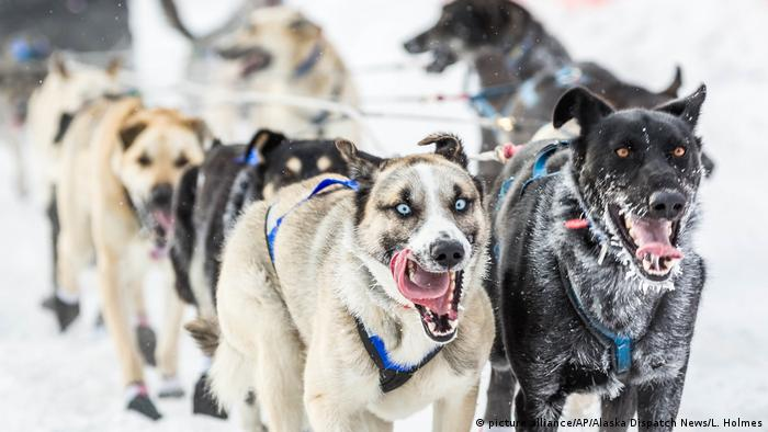 Dogs compete in the Iditarod race in Alaska in 2015, in which no dogs tested positive for drugs