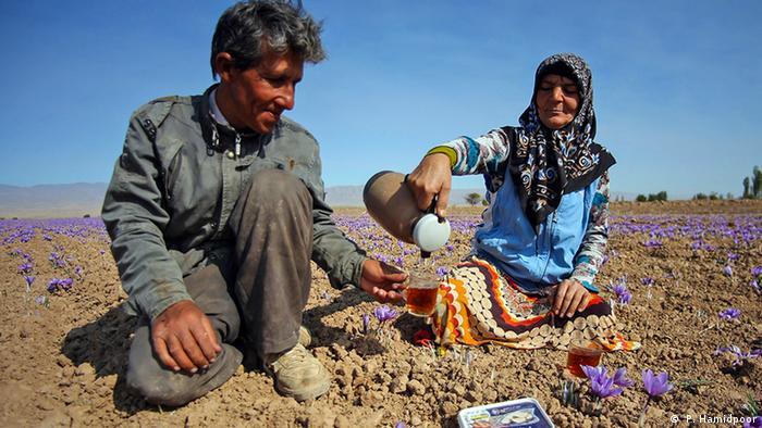 برداشت محصول زعفران در شمال شرقی ایران؛ یکی از تولیدکنندگان زعفران در ایران: کشاورزان برای تولید بیشتر زعفران نیاز به حمایت دارند اما بانکها تمایلی به دادن وام به کشاورزان کوچک ندارند