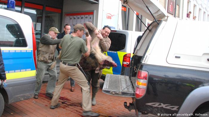 Aggressive Wildschweine verletzen Menschen in Heide