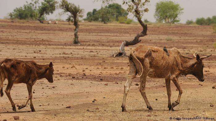 Burkina Faso Kühe bei Ouahigouya (Getty Images / AFP / I. Sanogo)