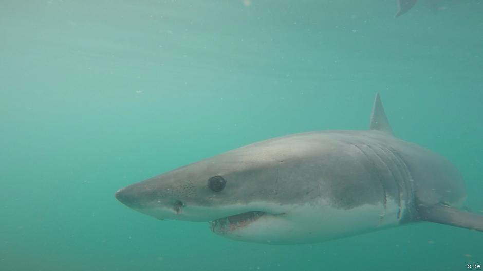 South Africa′s great white sharks facing extinction | Eco