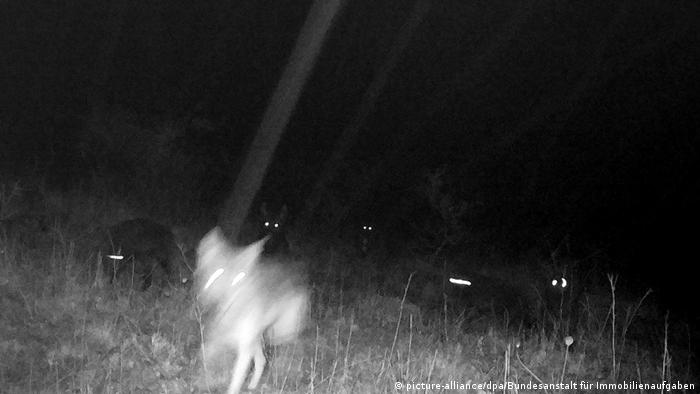 Тюрингская волчица с выводком волкособов на снимке, сделанном фотоловушкой в октябре 2017 года