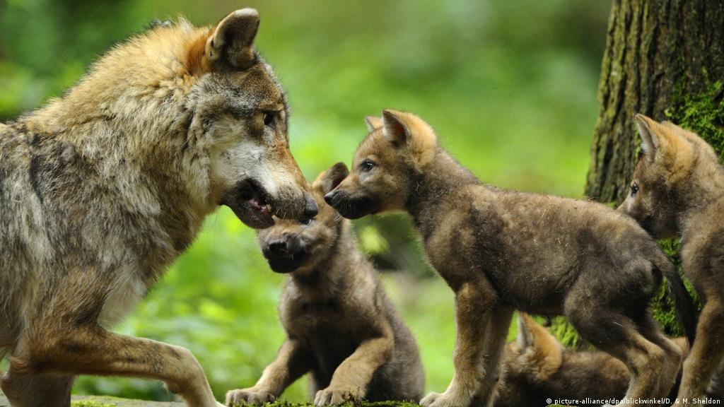 Wolf cub hybrids face the chopping block in Germany | News