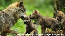 European gray wolf (Canis lupus lupus), a female wolf and wolf cubs, (picture-alliance/dpa/blickwinkel/D. & M. Sheldon)