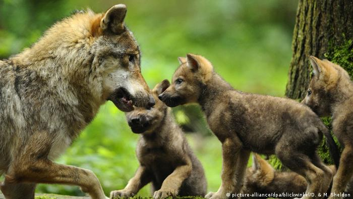 Wolf mother and her cubs (picture-alliance/dpa/blickwinkel/D. & M. Sheldon)