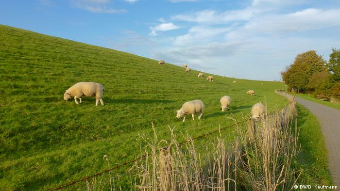 Sheep graze on a green slope