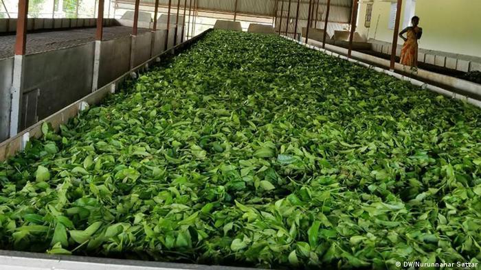 Tea Garden, Sreemangal, Bangladesch (DW/Nurunnahar Sattar)