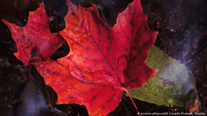 Maple leaves (picture-alliance/All Canada Photos/L. Staples)