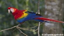 Papagei Südamerika im Amazonas Regenwald