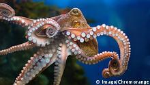 Bildnummer: 59388852 Datum: 30.01.2013 Copyright: imago/CHROMORANGE Octopus PUBLICATIONxINxGERxSUIxONLY kbdig 2013 quer achtarmig afrika afrikanisch afrikanische afrikanischer afrikanisches amerikanisch amerikanische amerikanischer amerikanisches antarktis antarktisch antarktische antarktischer antarktisches aquarium asiatisch asiatische asiatischer asiatisches asien atlantik atlantisch atlantische atlantischer atlantisches australien australisch australische australischer australisches europa europäisch europäische europäischer europäisches fauna fisch fische fortbewegung fortpflanzung furchenfüßer gehäuse indik indisch indische indischer indisches intelligent kahnfüßer kalk karibik karibisch karibische karibischer karibisches kaukasisch klasse klassen kontinent kontinente kopffüßer krake käferschnecke käferschnecken körper meer meere meerestier meerestiere monoplacophora natur naturkundemuseeum ncoleoidea neugierig nord nordamerika nordamerikanisch nordamerikanische nordamerikanischer nordamerikanisches nrückstoßprinzip octopus oktopus orientierung ozean ozeane pazifik pazifisch pazifische pazifischer pazifisches salzwasser saugnäpfe schale scheu schildfüßer schneckengruppe schneckengruppen sepia systematik süd südamerika südamerikanisch südamerikanische südamerikanischer südamerikanisches tier tiere tierklasse tierwelt tierwelten tierweltentierklassen tinte tintenfisch umwelt unterwasserwelt vampyropoda wasser weichtier weichtiere weichtieren wirbeltier wirbeltiere 59388852 Date 30 01 2013 Copyright Imago Octopus Kbdig 2013 horizontal achtarmig Africa African African African African American American American American Antarctica Antarktisch Antarctic Antarctic antarktisches Aquarium Asian Asia tables Asian Asia table Asia Atlantic Atlantic Atlantic Atlantic Atlantic Australia Australian Australian Australian Australian Europe Euro European European European Fauna Fish Fish Locomotion Reproduction furchenfüßer Housing Indic Indian Indian Indian Indian intelligent 