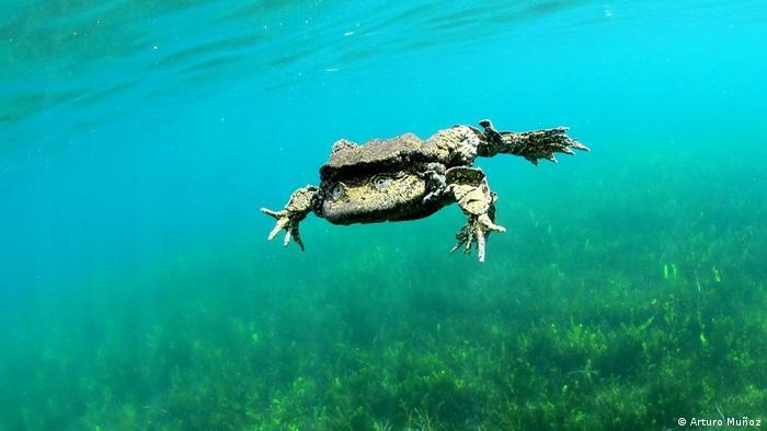 En Perú y Bolivia, en las aguas del lago más alto del mundo, habita la rana gigante del Titicaca. Catalogada en riesgo crítico, la IUCN calcula que su población ha caído a menos del 80% en las últimas tres generaciones, debido a la degradación de su hábitat, contaminación y acción de especies invasoras. El año pasado, se encontraron miles de ranas muertas en un río que desemboca en el Titicaca.