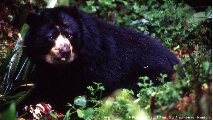 En Colombia, Perú y Ecuador, la deforestación ha impactado al oso andino o de anteojos, la única especie de oso de Sudamérica y el mamífero más importante de los bosques andinos. Su presencia es cada vez más escasa. En el pasado fue víctima de los cazadores, lo que mermó sus poblaciones.