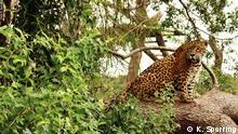 Jaguar oder Yaguareté (Guaraní-Sprache). Bedrohte Raubkatze, Argentinien. 2015. Copyright Foto: K. Spørring Bildergalerie bedrohte Tiere in Lateinamerika © K. Spørring